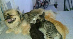 Cappella cagnetta adotta e  allatta tre piccoli gattini. Le foto