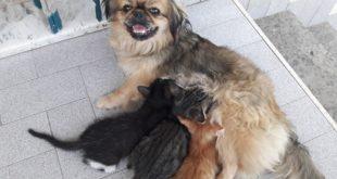Ecco il video: Amore di mamma, Jessica la cagnolina che allatta i gattini orfani.Video