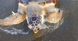 Miseno. Ritrovata una tartaruga morta sulla spiaggia.