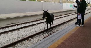 Torregaveta. Video .Cavallo ferito corre sui binari fino alla stazione della Cumana.