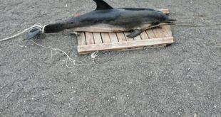 Miliscola. Delfino morto arriva sulla spiaggia.Le foto